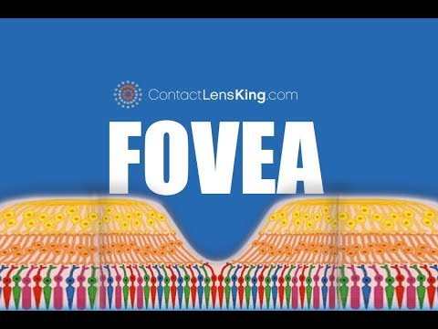 The Fovea | What Is The Fovea And What Does It Do?