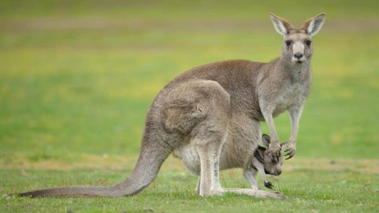ad9a19f57 Maravillosa madre canguro dando a luz en la naturaleza y los primeros meses  de un bebé canguro