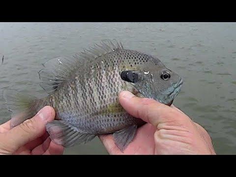 Bank Fishing For Bluegill