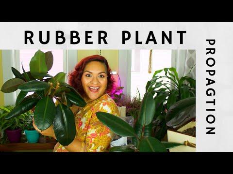 Rubber Plant Propagation - Two Methods!   DRUNKEN HOMEMAKER