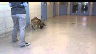 Mickey, A 1.5-year-old, German Shepherd Mix Available For Adoption At The Wisconsin Huma