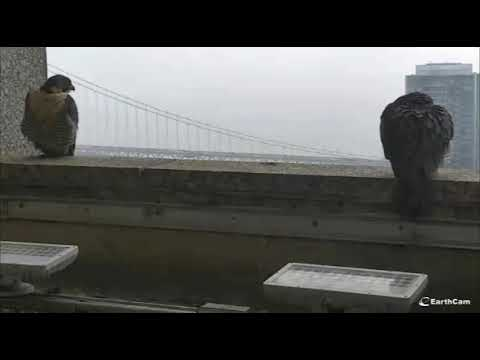 1/17/18 12:00 both adults on ledge; SCPBRG Falcons: SF PG&E peregrines