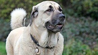 The Only Dog in The World That Can Kill a Wolf - KANGAL