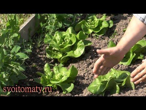 Кочанный салат: выращивание и уход | кочанный | салат