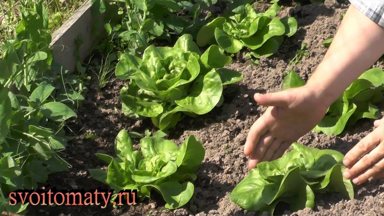 Кочанный салат: выращивание и уход - YouTube