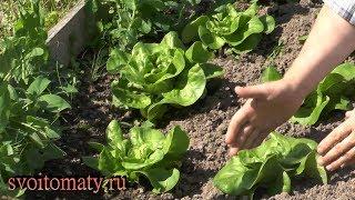 Кочанный салат: выращивание и уход