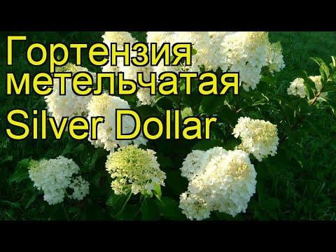 Гортензия метельчатая Силвер Доллар. Краткий обзор, описание характеристик
