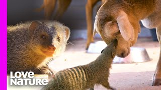 Mongoose And Sheep Have The Perfect Friendship | Oddest Animal Friendships | Love Nature