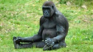 Топ 10 Смешные обезьяны. Видео Подборка 2016 - [NEW HD](Посмотрите эту подборку топ-10 забавных обезьян. Надеюсь, вам понравятся эти забавные обезьяны., 2016-12-02T08:18:50.000Z)