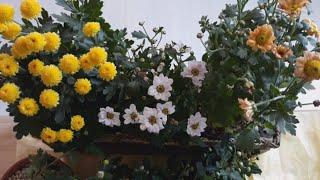 #수반에서 (수경재배)국화'꽃 '키워요~…