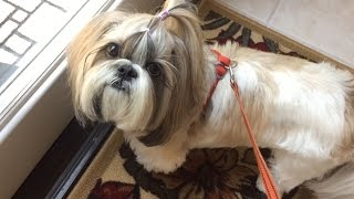 Looking At Our Fish And Walking With Shih Tzu Dog Lacey
