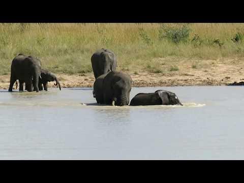 Elephants swimming in Botswana