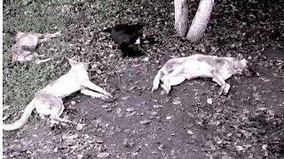 Как уберечь собак от соседей-звероловов?   Критическая точка