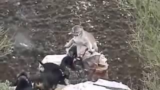 Горный лев против собак  Лучшие бои животных  Жизнь в дикой природе