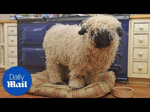 Sheep thinks he is a dog after growing up with one - Daily Mail