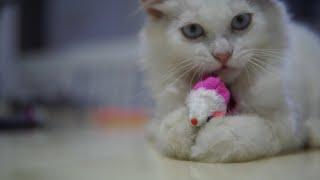 Kucing lucu  kucing comel sedang bermain (ASMR)!!!