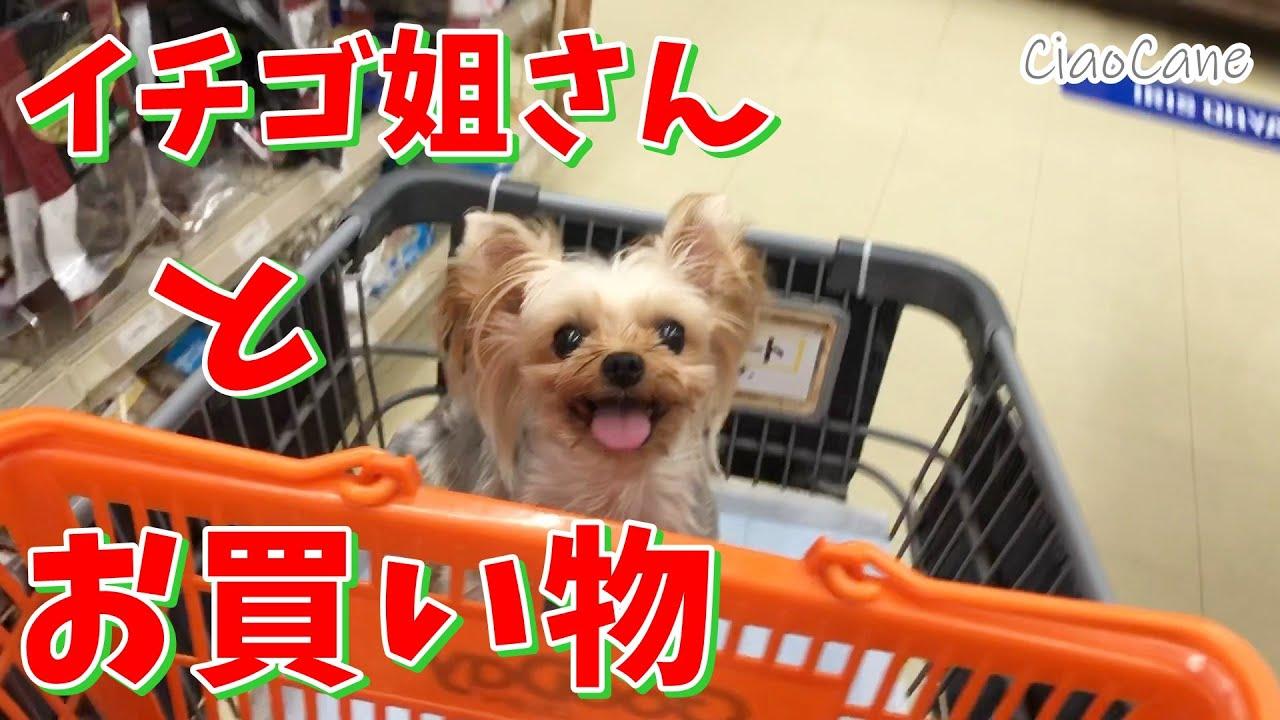 イチゴ姐さんとお買い物【ヨークシャーテリア専門犬舎チャオカーネ】