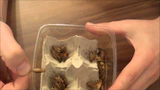 Insekten essen Selbsversuch,Heimchen essen