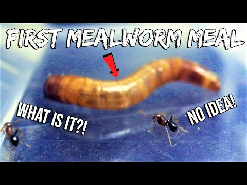 FIRE ANTS REACT TO THEIR FIRST MEALWORM | 'NEWBIE' FIRE ANTS