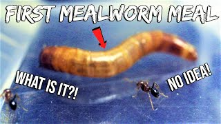 FIRE ANTS REACT TO THEIR FIRST MEALWORM |