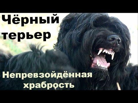 Чёрный терьер: сила и непревзойдённая храбрость. Порода выведена в СССР чекистами. Собака Сталина
