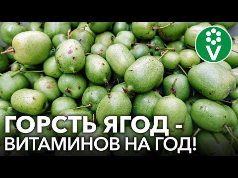 АКТИНИДИЯ КОЛОМИКТА - ягода со вкусом киви и ананаса в саду! Все о выращивании актинидии