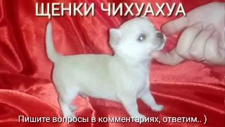 #9 Купить Щенка Донецк || Чихуахуа белые мини || мальчики и девочка.  Micro Chihuahua White female.