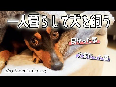 一人暮らしで犬を飼うという事【ミニチュアピンシャー】【ミニピン】【犬】【Dog】