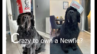 The Newfoundland  The Truth of owning a Newfie
