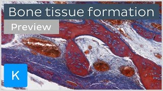Bone tissue formation: ossification and cells (preview) - Human Histology | Kenhub