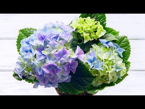 Reproducir hortensias por esquejes doovi - Cuando podar hortensias ...