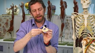 Atlas and axis vertebrae