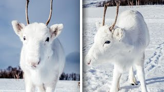 Rare White Reindeer Calf Poses for Photographer in Norway