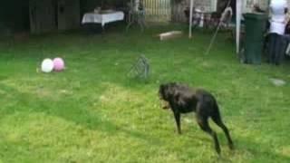 Ca C'est Du Rottweiler!!!
