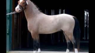 "Sect. A Welsh Mountain Pony Stallion - Cherubs Casanova ""Squishy"""