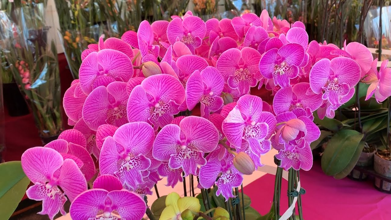 Khai mạc chợ hoa xuân Phước Lộc Thọ ở Little Saigon