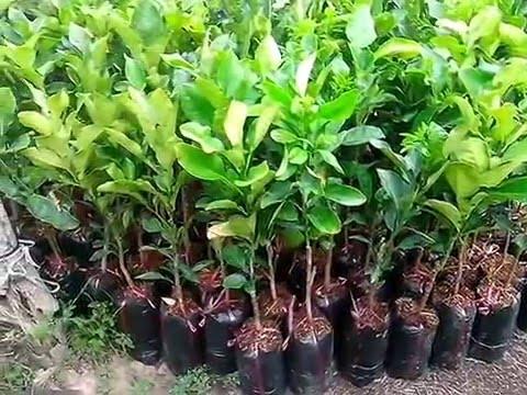 Pomelo and vietnam fruit trees seedling for sale pomelo for Fruit trees for sale