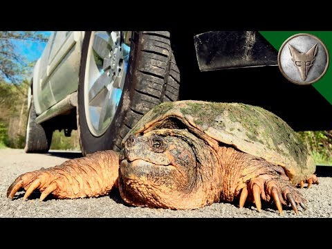 Thumbnail: STOP! Save this Turtle?