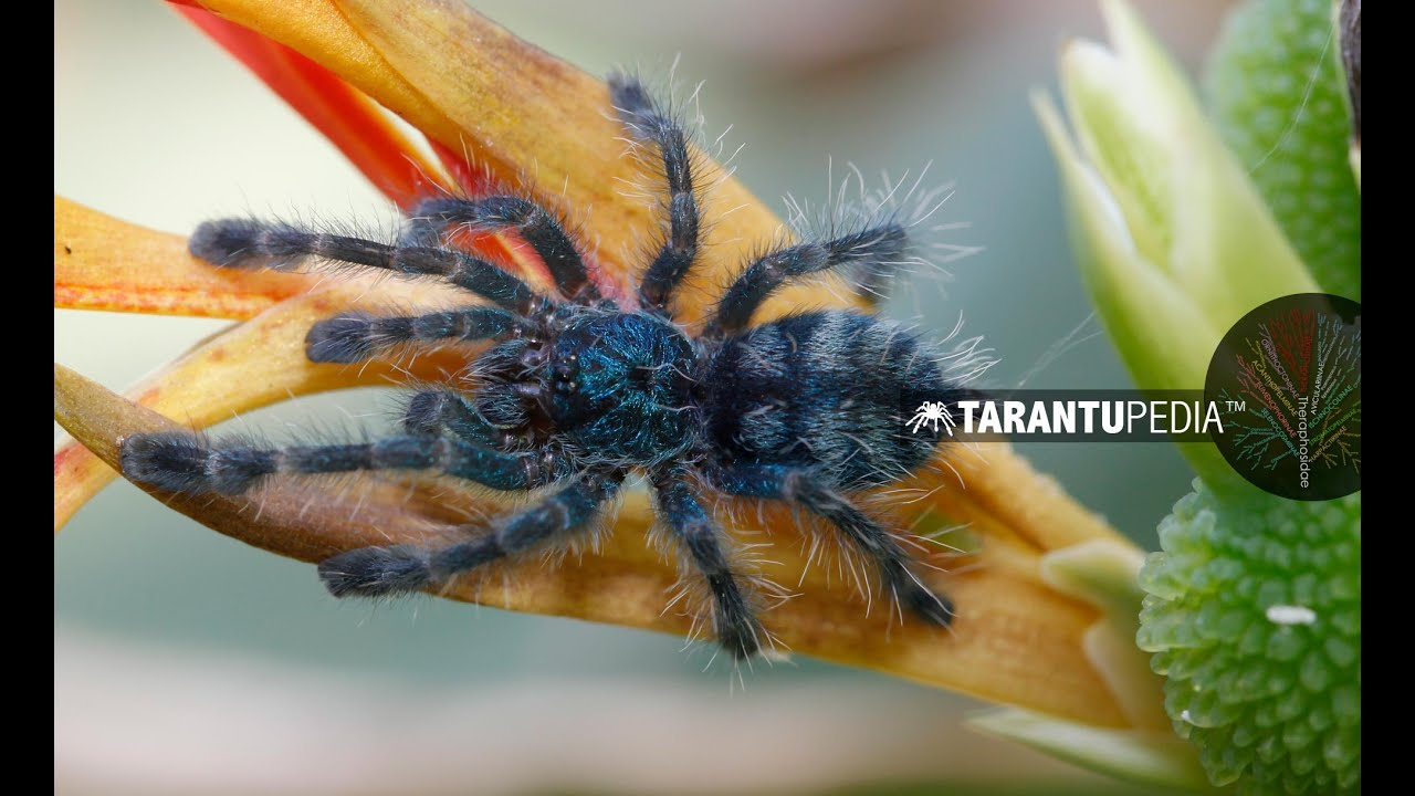 The Cutest Blue Spider You Will Ever See