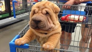 Best Of Cute Shar Pei Puppies - Funny Puppy Videos 2018