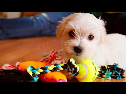 Puppies Playing with Toys #105