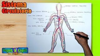 Cómo dibujar y pintar el Sistema / Aparato circulatorio humano