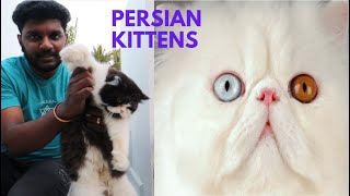 My Persian Cats | Spending my day with Persian Kittens | Fluffy Kitten | Tamil | AK Vlogs