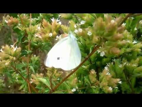 White butterflies fluttering