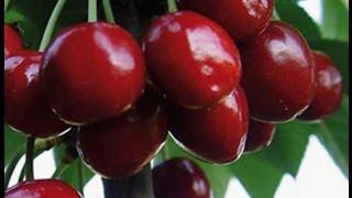 Kiraz (Vişne) meyve ağacı budaması (budama zamanı) 2. Bölüm