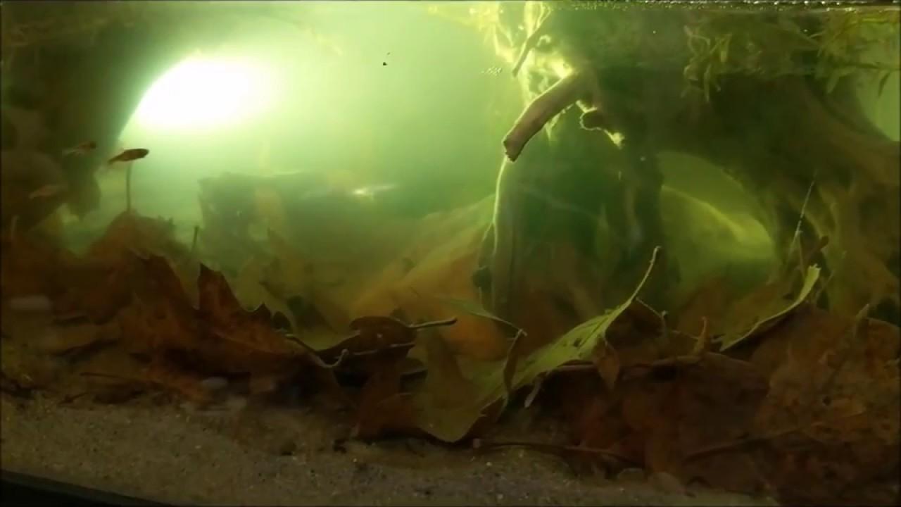 Can Cpd Go With Chili Rasbora In A 10 Gallon Aquarium