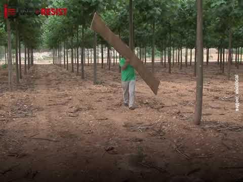 Павлония - самое перспективное дерево