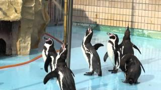王子動物園でペンギンが喧嘩をしていたところを撮影成功。