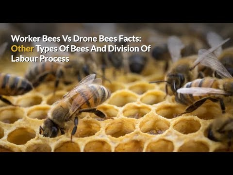 Worker Honey Bees Vs Drone Bees Facts: Types Of Bees & Division Of Labour Process
