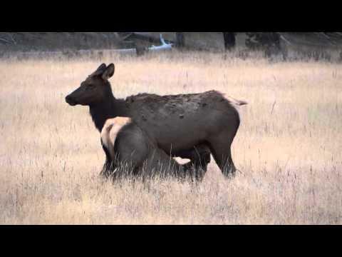 Alce (elk) amamentando filhote Yellowstone National Park - Estados Unidos